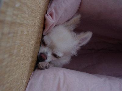 布団の隙間で寝るワンコ2