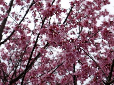 梅の花[桃色]の写真