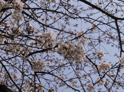 地元での桜